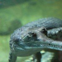 Крокодильчик :: Евгений +