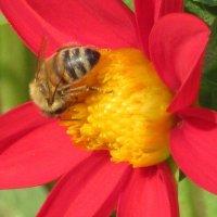 Пыльца вкусна и полезна... :: Вячеслав Медведев
