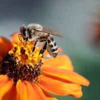 Пчела :: Фазлиддин Инагамов