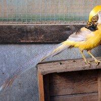 Золотой желтый фазан :: Людмила Павловна Крышковец