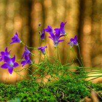 Колокольчики из хвойного леса :: Va-Dim ...