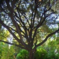 Большое дерево. :: Оля Богданович