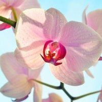 Орхидея на окне :: Сергей Буданов