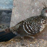 Непальский фазан :: Людмила Павловна Крышковец
