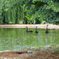 Черные лебеди на пруду. :: Оля Богданович