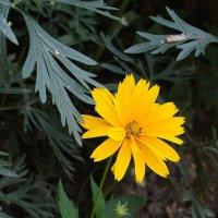 Цветок, похожий на топинамбур :: Дубовцев Евгений