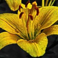 Жёлтая лилия!!! :: Олег Семенцов