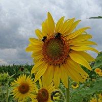 """""""Под солнцем подсолнух Сегодня расцвел...."""" :: Galina Dzubina"""