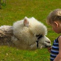Ласковая альпака по имени Май :: Ксения Прикман