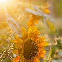 Огородное солнце :: Елена Куценко
