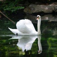 Белый лебедь на пруду :: Елена Фомина