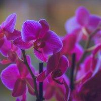 Орхидеи :: Alena Kramarenko