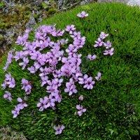 Арктические цветочки :: Tatiana Belyatskaya