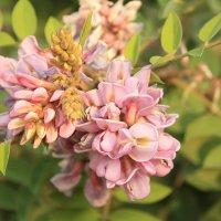 Робиния клейкая, или акация розовая (Robinia viscosa Vent) :: Александр Иванов