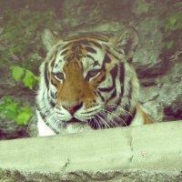 Амурский тигр Умар. :: Oleg4618 Шутченко