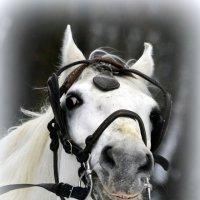 Голова лошади  / 1 / :: Сергей