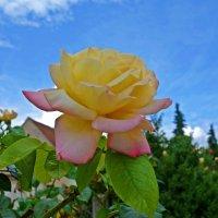 «Глория Дей» во всем мире признана эталоном розы. :: Galina Dzubina