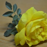роза :: Марина Титкова