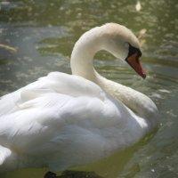 Белый лебедь в Ростовском парке :: Марина Труфанова