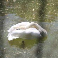 Прекрасный лебедь :: Марина Труфанова