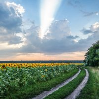 Деревенская дорога и подсолнухи. :: Александр Селезнев