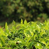 Чайная плантация на Шри Ланке :: Ксения Студеникина
