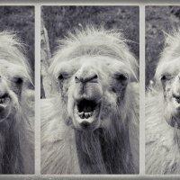 Старый хиппи из зоопарка :: Николай Белавин