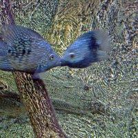 Рыбий поцелуй :: Елена Перминова