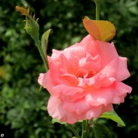 Летняя роза :: Нина Бутко