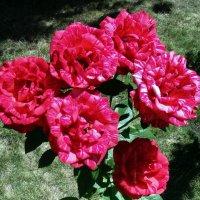 Розы. :: Мила Бовкун