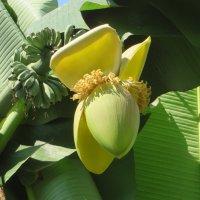 Цветет банан :: Наталья Джикидзе (Берёзина)