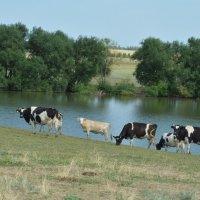 Коровы шли на водопой... :: Вероника Подрезова