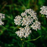Белые цветы с поля :: Света Кондрашова
