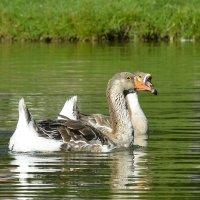 Жили у бабуси два веселых гуся :: Юрий Бичеров