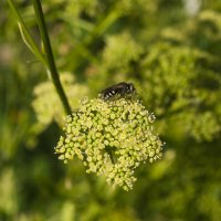 Муха-цокотуха на петрушке :: Владимир Берберян