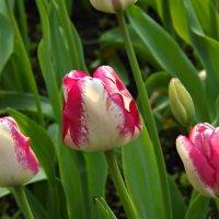 тюльпаны :: Ирина Мамчур (Малыгина)