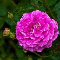 Роза после дождя :: Константин