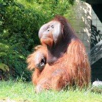 Далай Орангутанг :: NatWolf