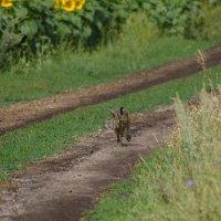 Заяц бежит навстречу ... :: Вера