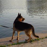 Очень красивая и очень мокрая собака :: Андрей Лукьянов