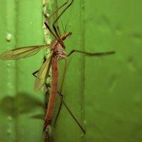 Комар долгоножка :: Aнна Зарубина