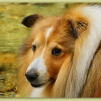 My amazing Sheltie Friday :-) :: Tatiana Golubinskaia