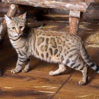 Бенгальская кошка :: Елена Ушакова