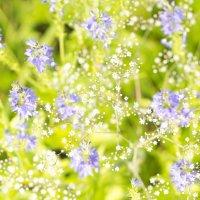 полевые цветы :: Александр .
