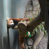 Красная панда на отдыхе. :: Oleg4618 Шутченко