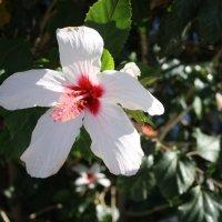 Цветок Гибискуса :: Наталия Павлова