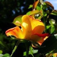 Августовские розы Фото №1 :: Владимир Бровко