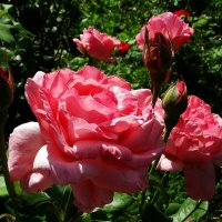 Августовские розы Фото №5 :: Владимир Бровко