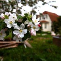 Яблони в цвету :: Алексей Совалев