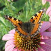 Краса-бабочка... :: Valentina
